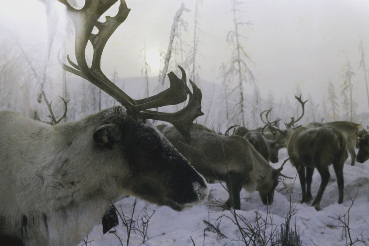 8e7fcab7d05 Arctic reindeer and caribou have declined by more than half - Vox
