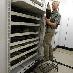 In this Friday March 23, 2012,  photo, Doug Wechsler, director of the Visual Resources for Ornithology, looks at an American Bald Eagle, in the collection at the Academy of Natural Sciences. in Philadelphia. The Academy is celebrating its bicentennial by offering the general public some rare behind-the-scenes tours of their some 18 million specimens for what's believed to be the first time in 200 years. (AP Photo/Alex Brandon)