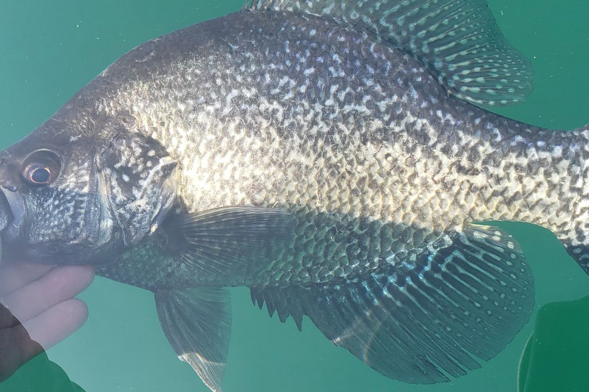 Joseph Christopher Alfe with a big crappie, caught and released at Three Oaks. Provided by Joseph Christopher Alfe