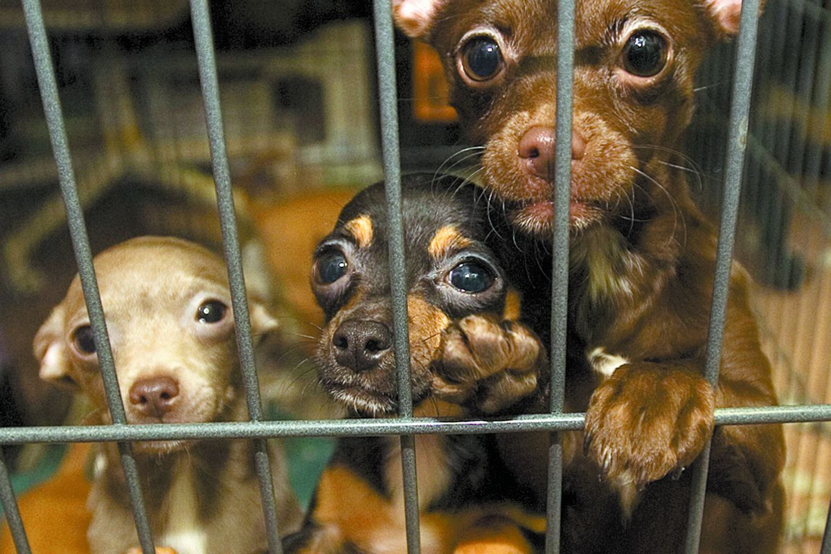 Chihuahuas peer from their crate in the PAWS Animal Shelter in Tinley Park, Ill., in March 2008. The dogs were rescued following a raid on a suspected puppy mill in Peotone.