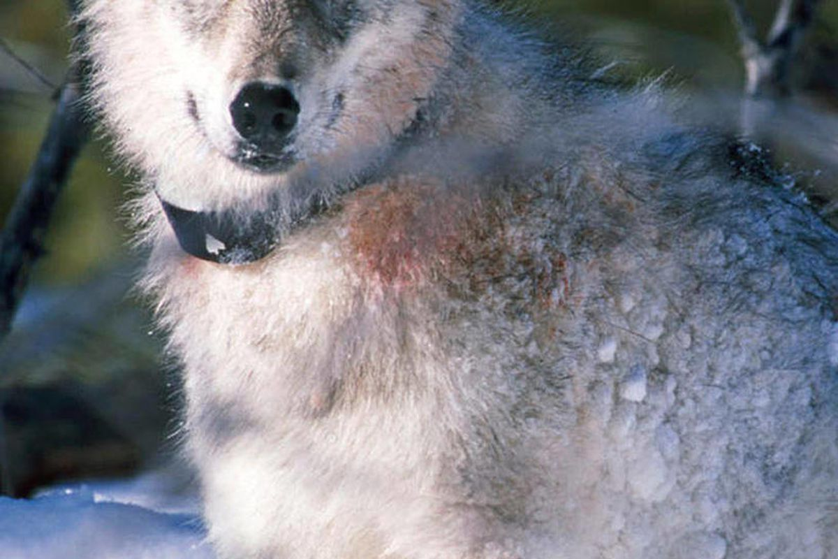 **FILE ** This Jan. 9, 2003 file photo shows a gray wolf watching biologists in Yellowstone National Park in Wyoming, after being captured and fitted with a radio collar.  The State of Wyoming and U.S. Dept. of Interior are expected to announce an agreeme