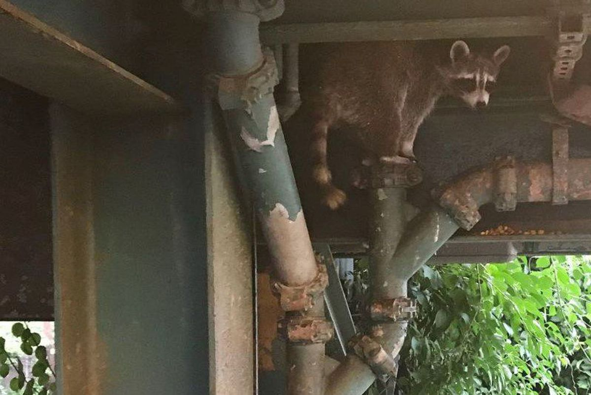 Raccoon under L station