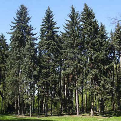 White Spruce Tree For Evergreen Privacy Screen
