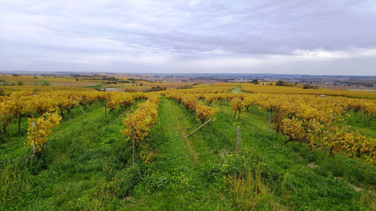 Cognac Vineyards