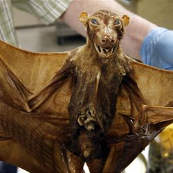 In this March, Friday, March, 2012, photo, Ned S. Gilmore, collections manager of vertebrate zoology, shows a over 100-year old fruit bat from India, in the collection at the Academy of Natural Sciences in Philadelphia. The Academy is celebrating its bicentennial by offering the general public some rare behind-the-scenes tours of their some 18 million specimens for what's believed to be the first time in 200 years. (AP Photo/Alex Brandon)