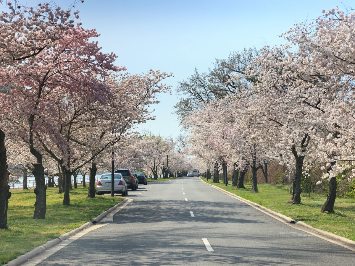 A path with trees that have pink blossoms on both sides.