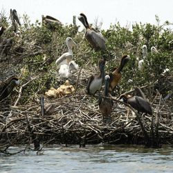 FILE - In this May 23, 2010 file photo, Pelicans are seen nesting on mangrove on Cat Island, as it is impacted by oil from the Deepwater Horizon oil spill, in Barataria Bay in Plaquemines Parish, La.