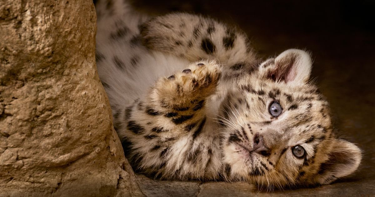 """One of Dawa's snow leopard cubs in """"Born ini China."""" 