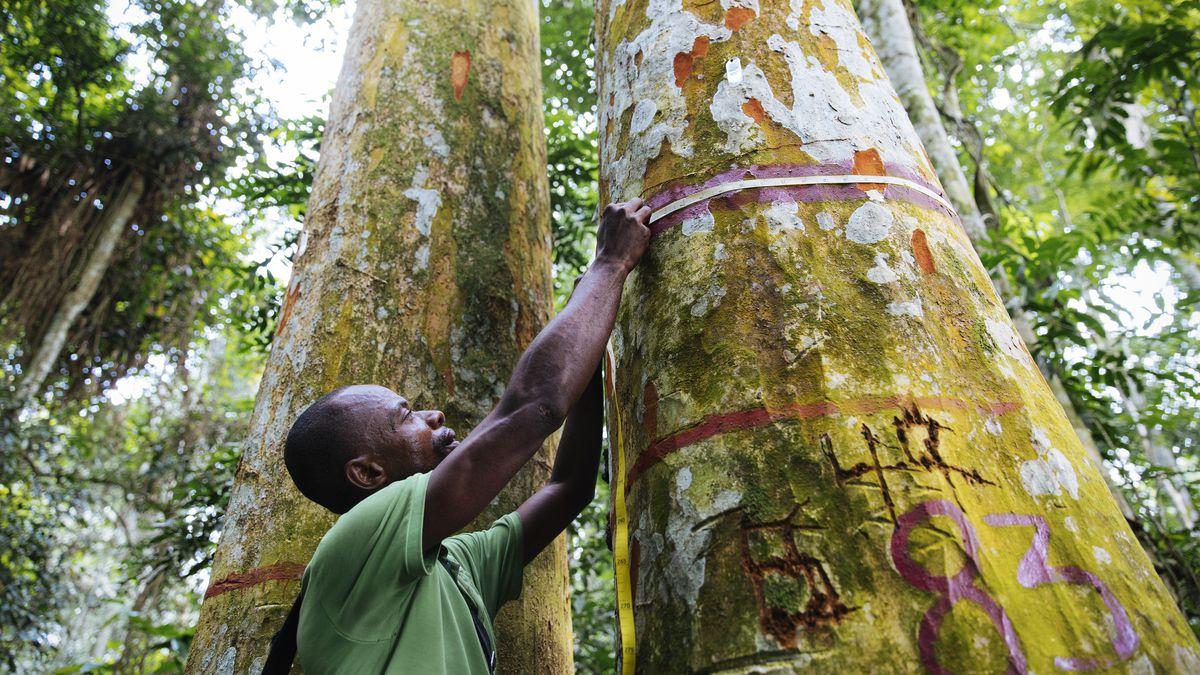 Jean-Pierre Muzinga, a forest technician, measures the trunk of an Afrormosia in the Yangambi Biosphere Reserve.