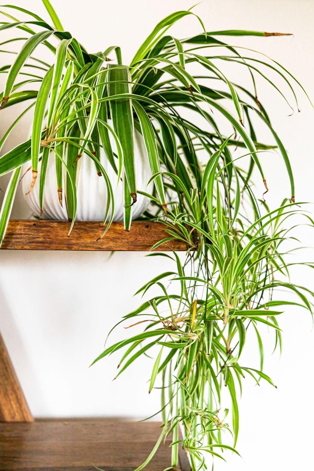 House Plants, Spider Plant