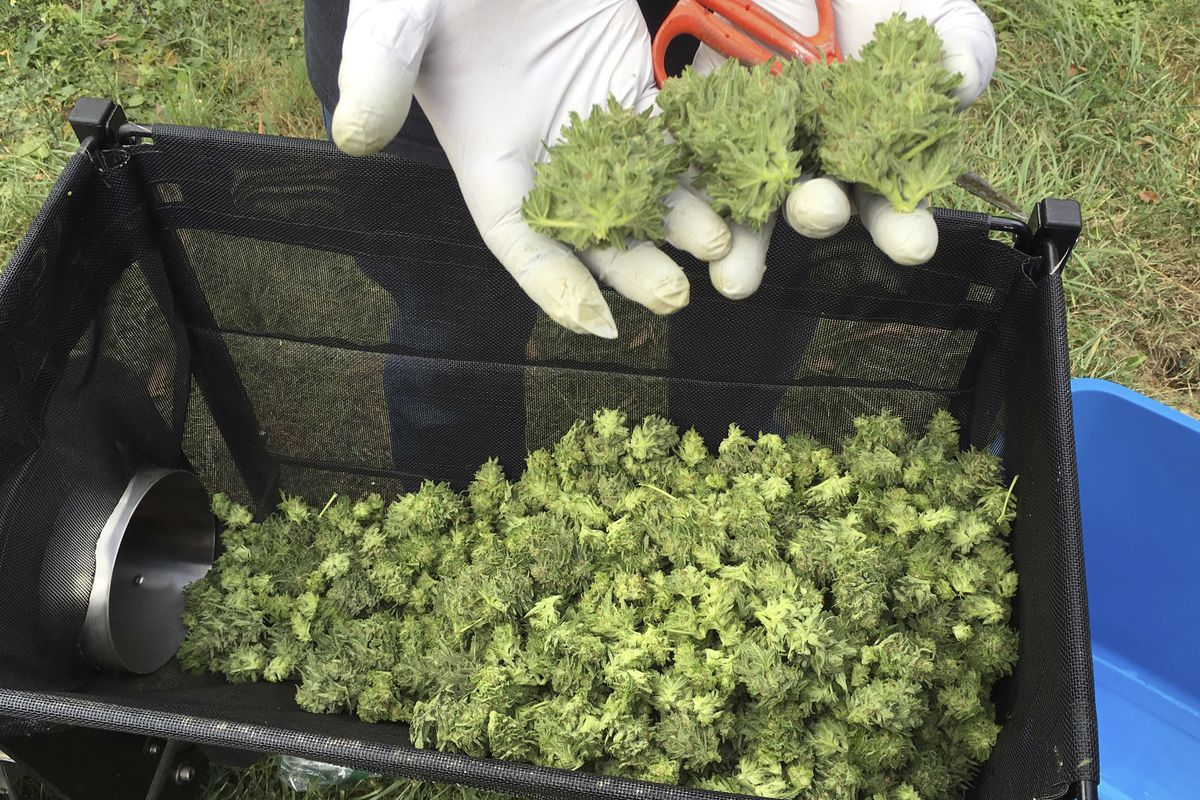 FILE - In this Sept. 30, 2016 file photo, a marijuana harvester examines buds going through a trimming machine near Corvallis, Ore.