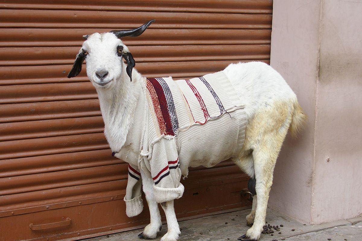 "Photo courtesy of Alexander Gorlizki and via <a href=""http://modernfarmer.com/2013/11/goats-sweaters/"">Modern Farmer</a>."