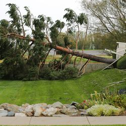 A pine tree toppled by high winds is pictured in Farmington on Tuesday, Sept. 8, 2020.