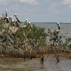 FILE  - In this May 22, 2010 file photo, pelicans nest in mangrove on Cat Island as oil from the Deepwater Horizon oil spill, seen below, impacts the island in Barataria Bay, just inside the the coast of Lousiana, in this May 22, 2010 file photo.