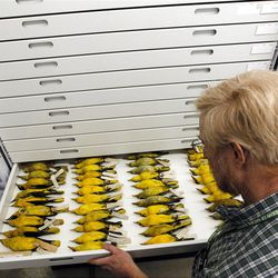 This Friday, March, 23, 2012, photo, Doug Wechsler, director of the Visual Resources for Ornithology, shows a tray of Black-naped Orioles from Asia, in the collection at the Academy of Natural Sciences Friday, March 23, 2012 in Philadelphia. The Academy is celebrating its bicentennial by offering the general public some rare behind-the-scenes tours of their some 18 million specimens for what's believed to be the first time in 200 years. (AP Photo/Alex Brandon)