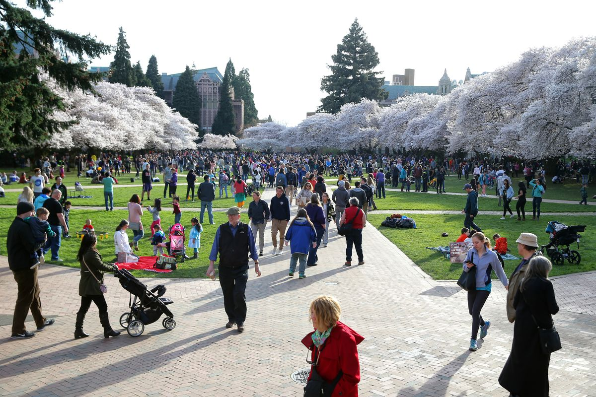Thousands of people were out Friday afternoon admiring the blooming cherry blossoms on the quad at the University of Washington, March 31, 2017. (Genna Martin, seattlepi.com)