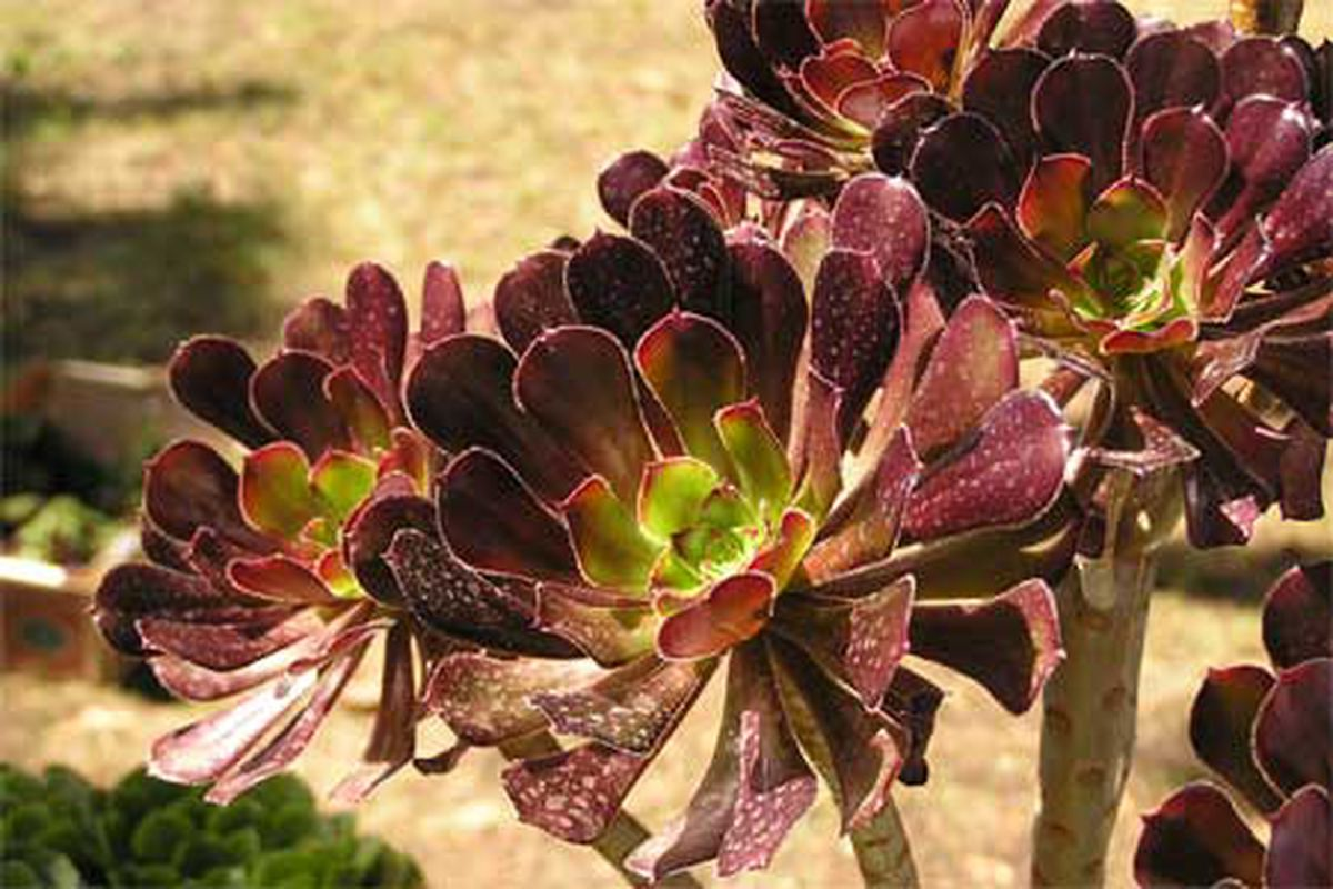 Succulent Plant Types This Old House