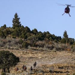 A helicopter pushes wild horses toward a trap during the Bureau of Land Management's Range Creek horse gather near Wellington, Carbon County, on Tuesday, Oct. 1, 2019.