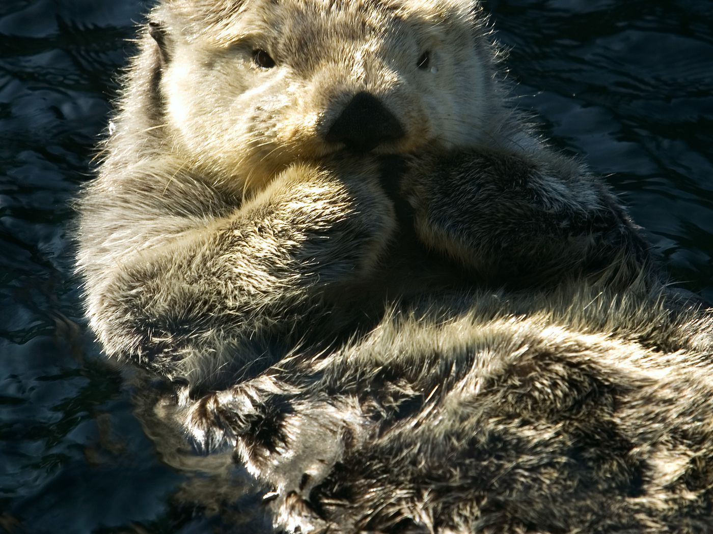 Super-tiny Mini Baby Otters