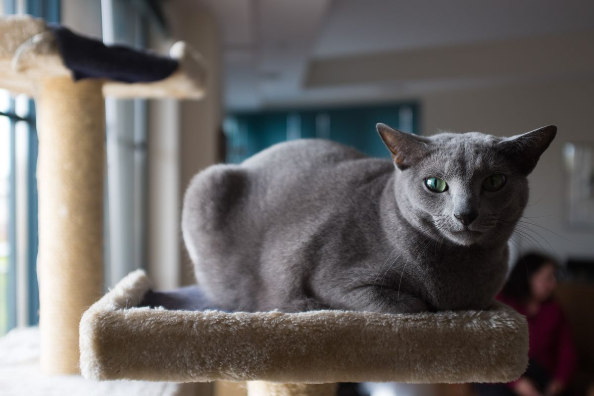 One of Jonathan Zucker's two Russian Blue cats.