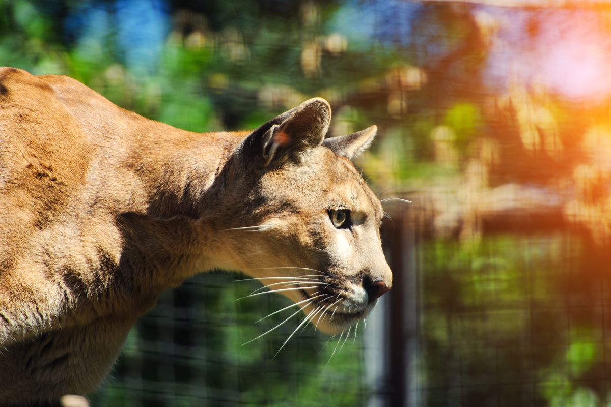 Potrait of a mountain lion in profile.