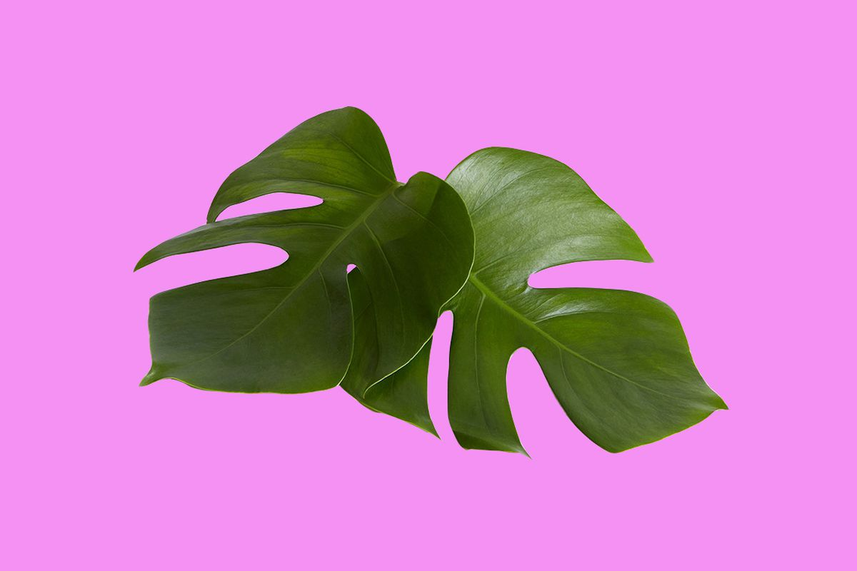 Two tropical leaves on a hot pink background.