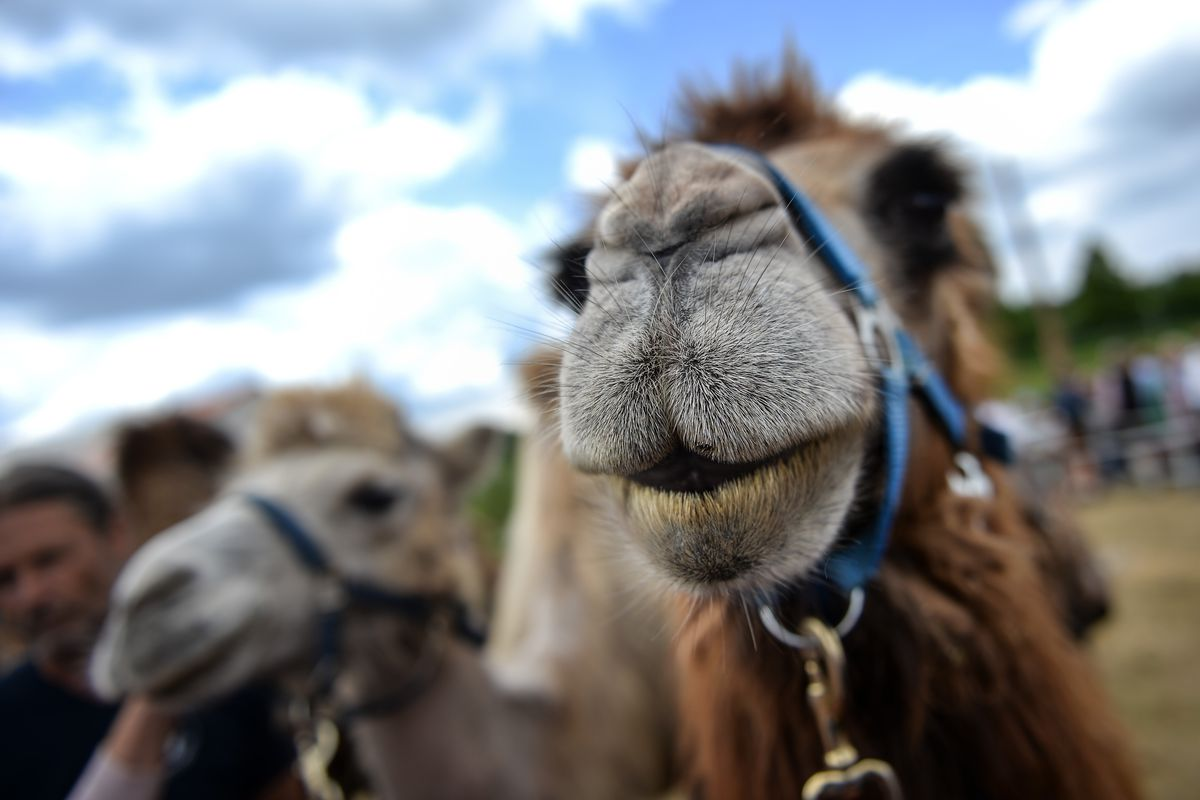 Camels Compete Against Oxen In Bavarian Race