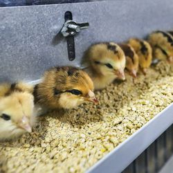 Chicks for sale at the IFA Country Stores in Riverton are pictured on Thursday, March 26, 2020. The agricultural sector is seeing a run on supplies including chicken feed, horse feed, dog food and a higher interest for chicks.