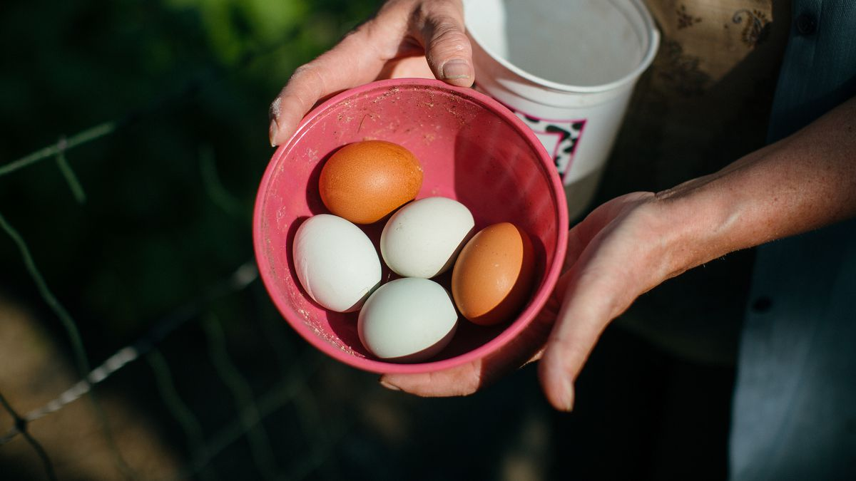 Brown and white eggs in a red plastic bowl held by the hands of a local farmer.