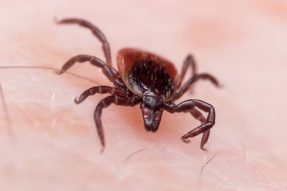 A new invasive tick is spreading through the United States for the first time in 50 years.