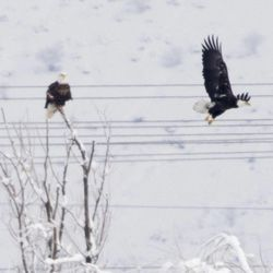 Bald eagles are perched and fly at Farmington Bay Wildlife Management Area Friday, Dec. 20, 2013. Eagles are turning up dead and officials are working to find out the cause.