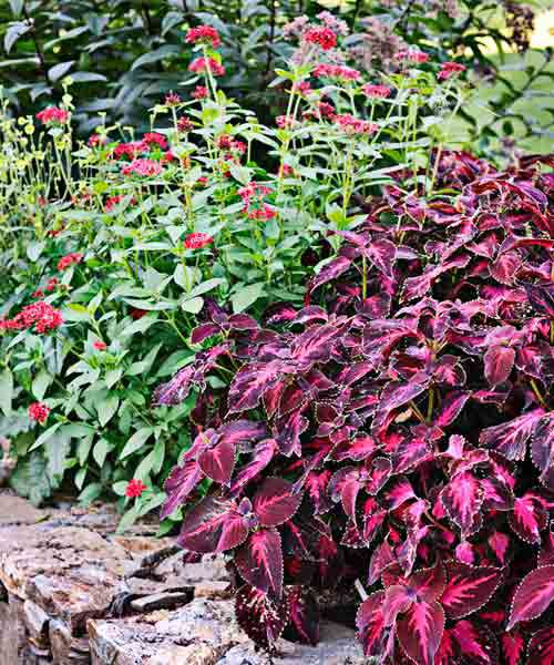 Coleus Plants: 'Kingswood Torch'; 'Ruby Glow' Pentas