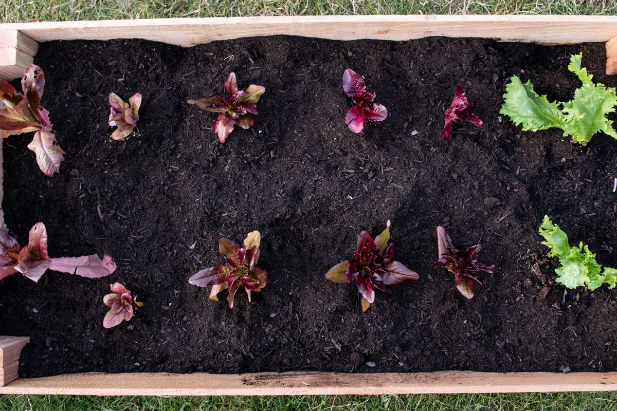 A small garden plot with some lettuce starts peeking out