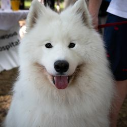 Fonzie, a 6-year-old Samoyed, Horner Park Dog Park. I Maria de la Guardia/Sun-Times
