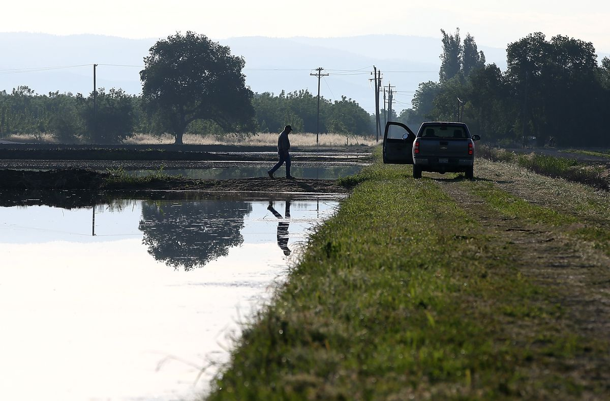 A farmer walks on the banks of a flooded rice field in May 2015 in California.