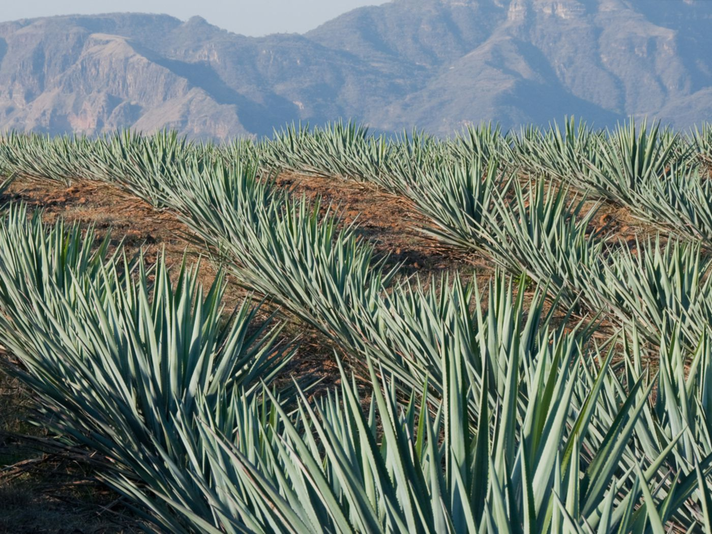 Beyond Tequila: Alternative Agave Spirits To Know - Eater
