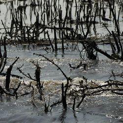 Dead mangrove is seen on Cat Island in Barataria Bay in Plaquemines Parish, La., Wednesday, April 11, 2012.