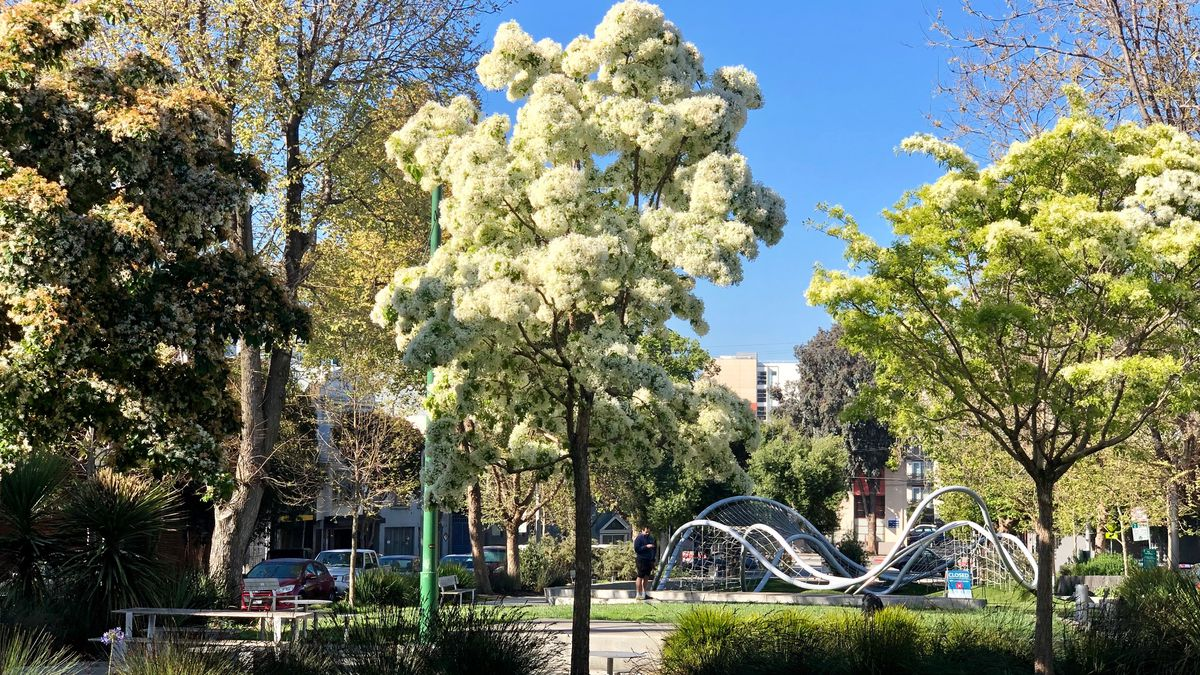 A large tree blooming with white flowers in the middle of a grassy park. There's also a metal, undulating, geometrically cool jungle gym near the tree.