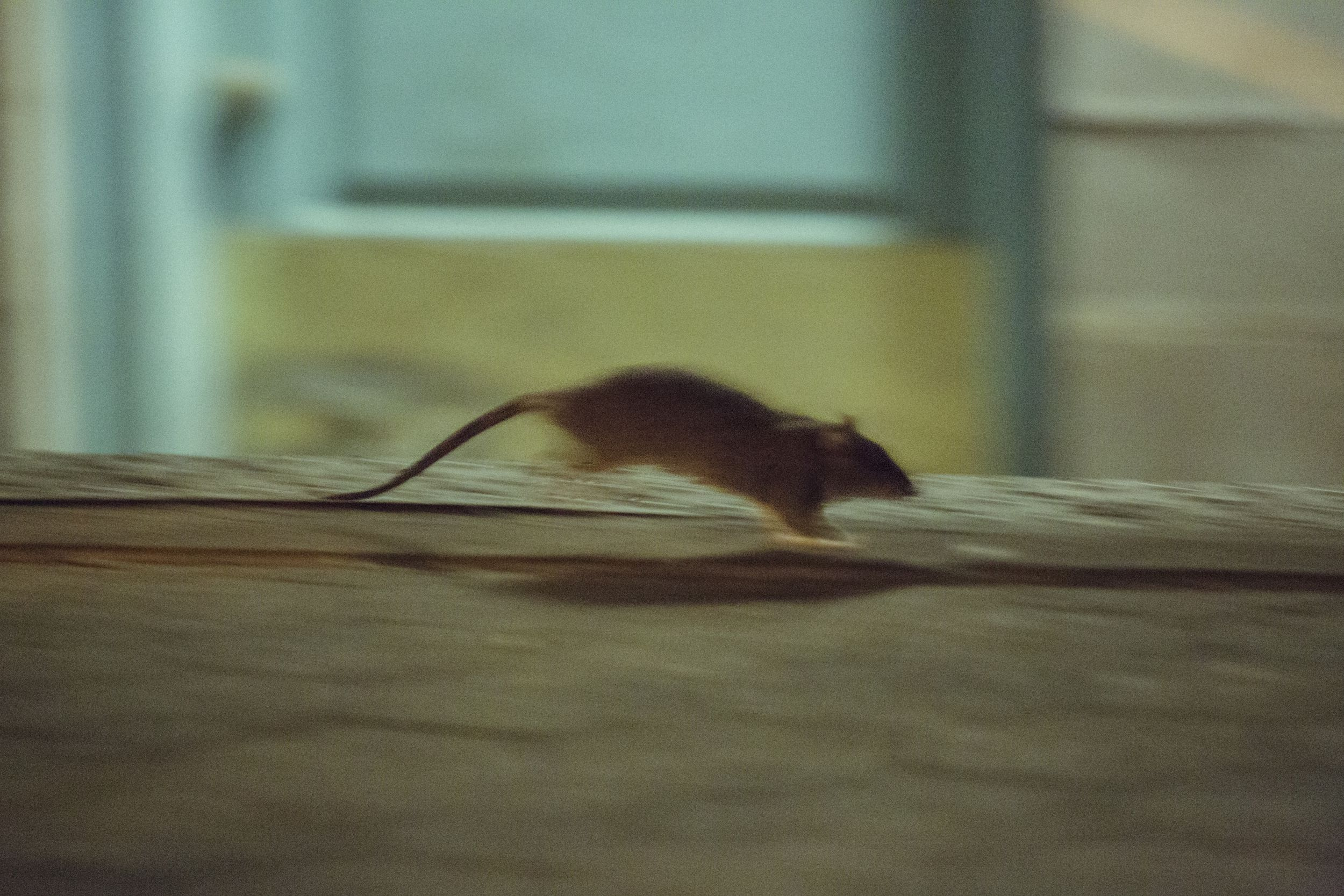 On the front lines of humanity\'s high-tech, global war on rats | The ...