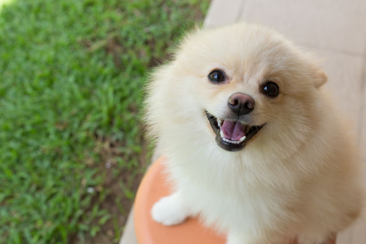 A tan Pomeranian with a brown nose and pink tongue looks upward while sitting on green grass.
