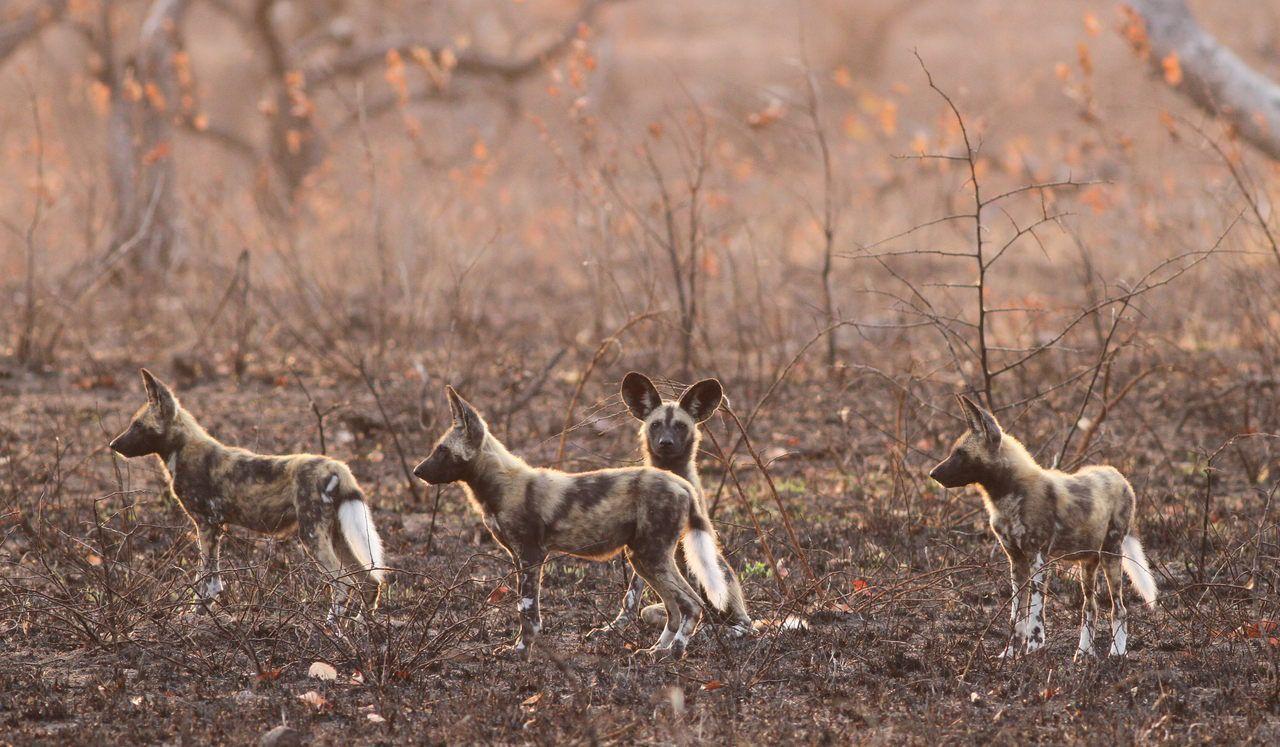 african-wild-dog-flickr