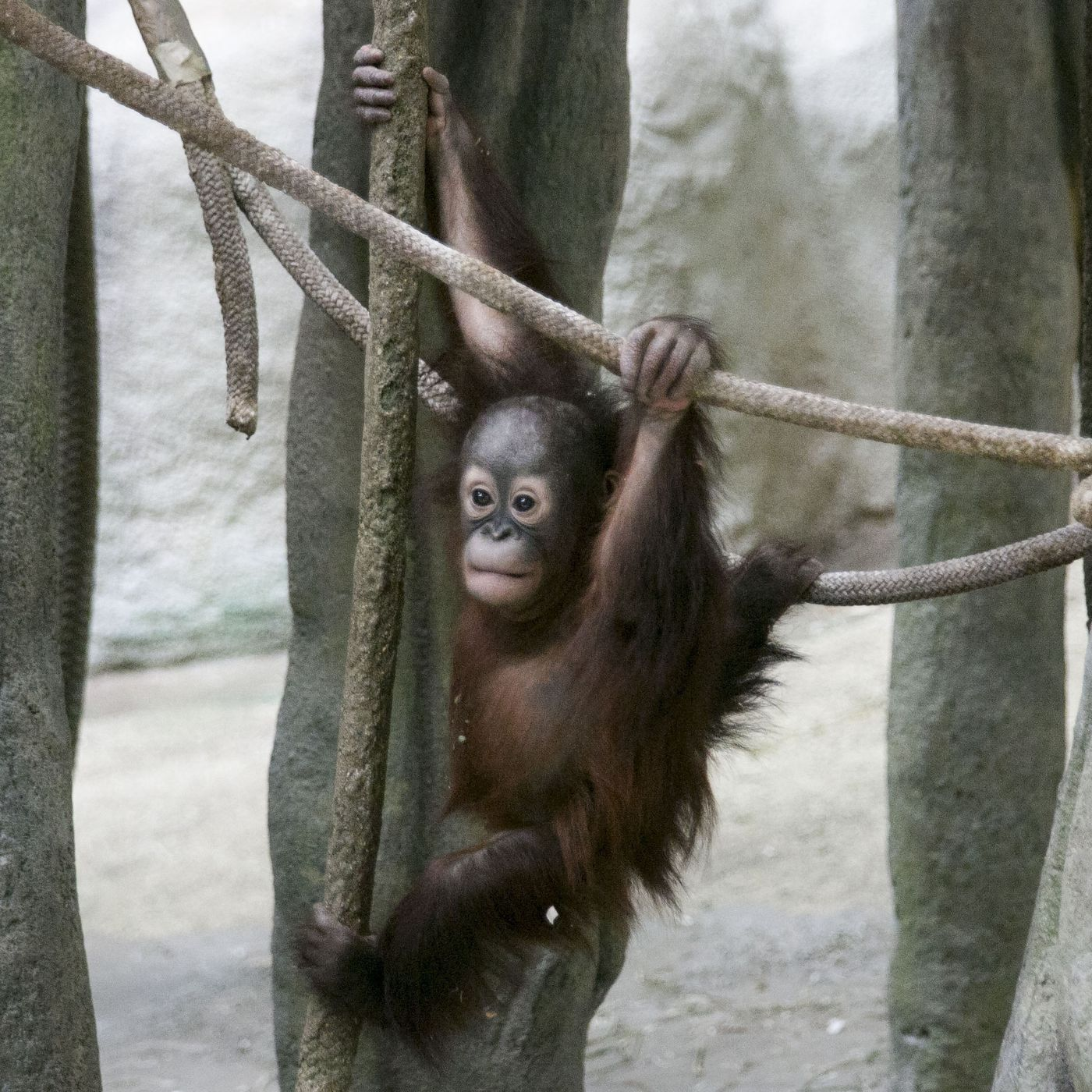Closed Two Months By Covid 19 Brookfield Zoo Set To Reopen March 1 Chicago Sun Times