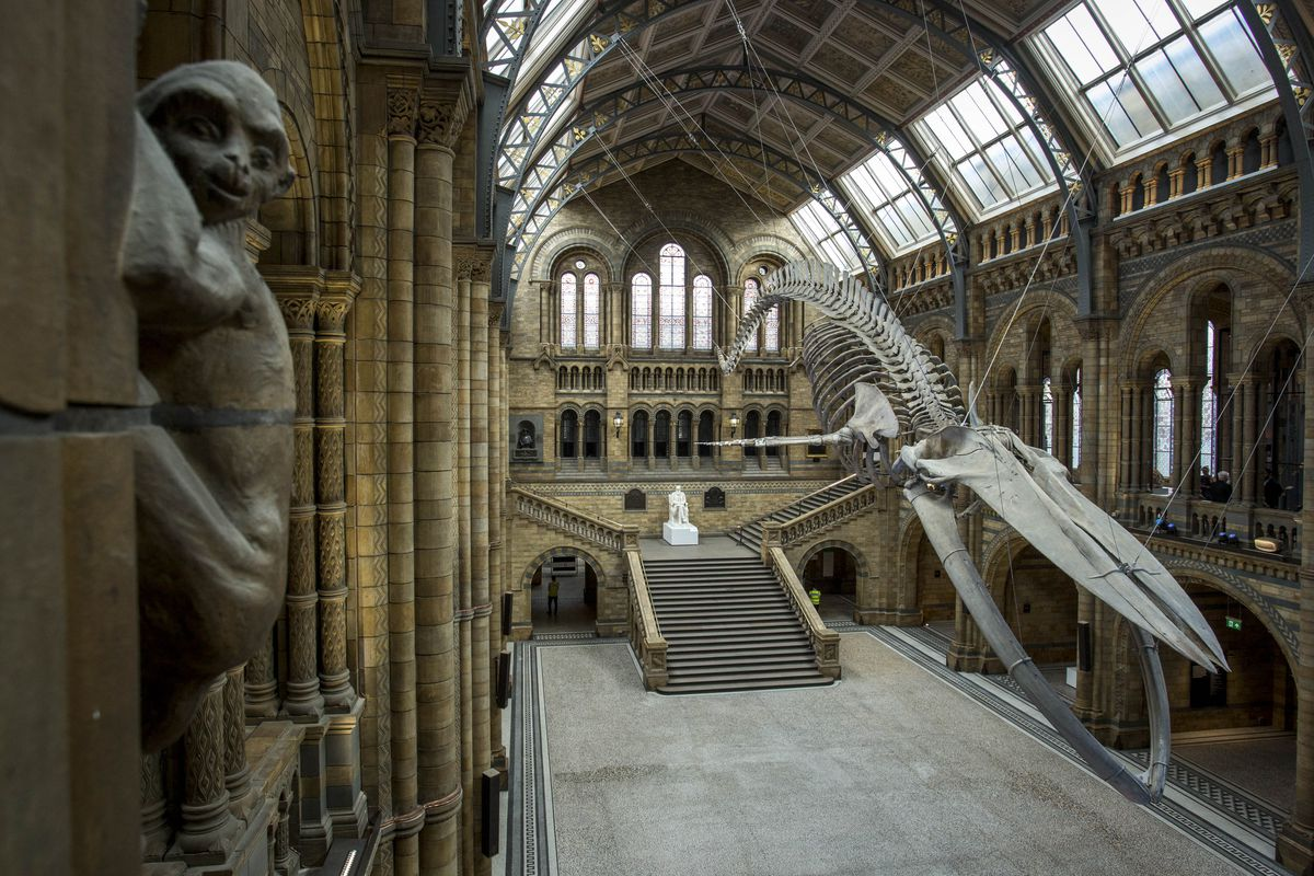 Blue Whale Skeleton Replaces Dippy The Diplodocus At The Natural History Museum