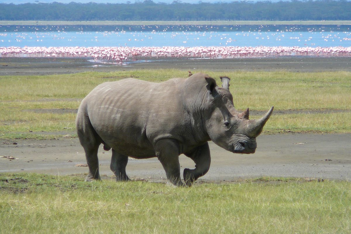 white rhino kenya (flickr)
