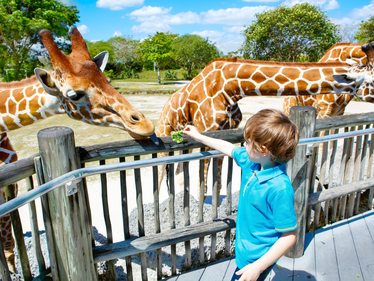 A Boy Feeds The Giraffes At Zoo Miami Shutterstock
