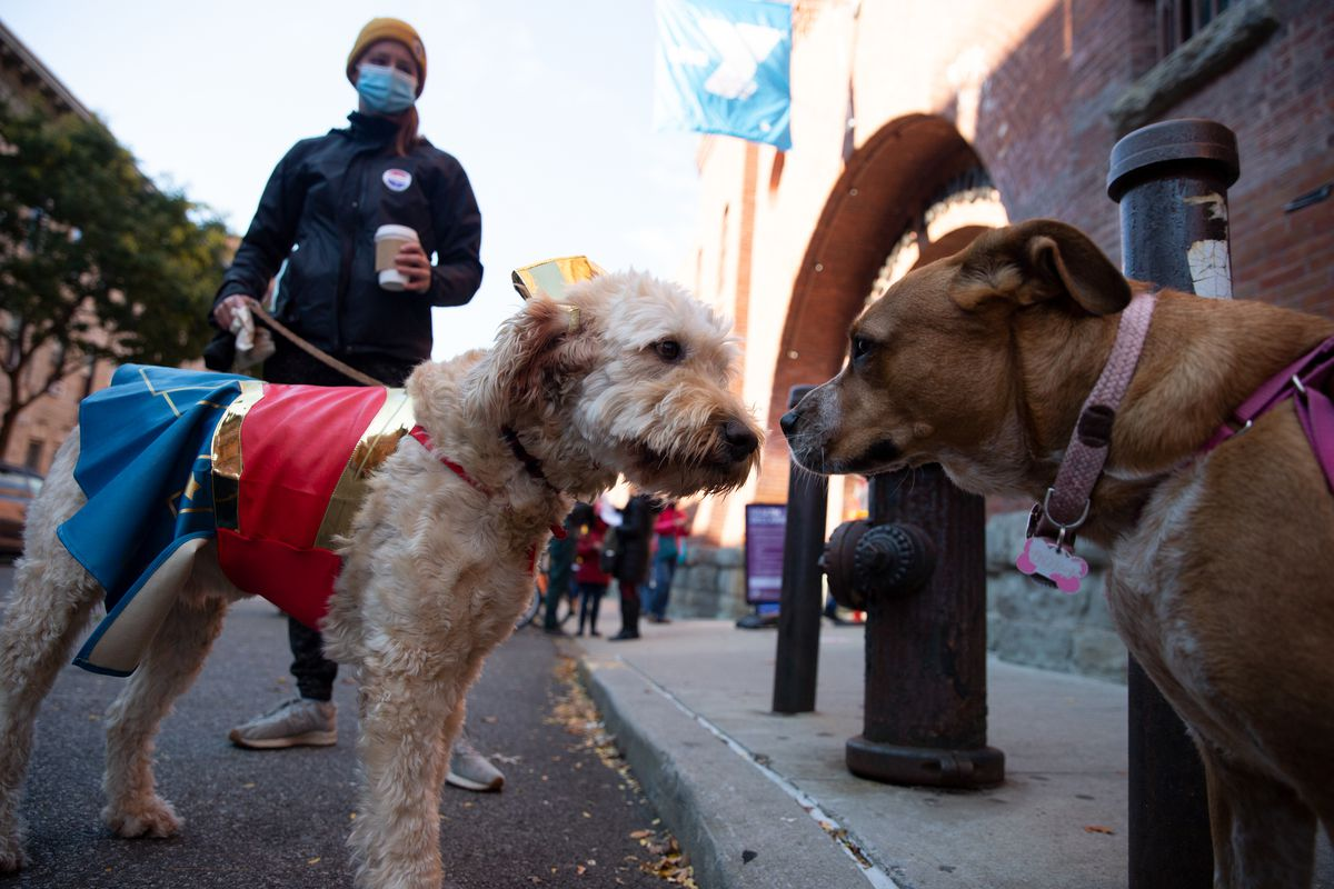 Golden doodle Artie makes new friends during early voting at the Park Slope Armory on Saturday, Oct. 31, 2020.