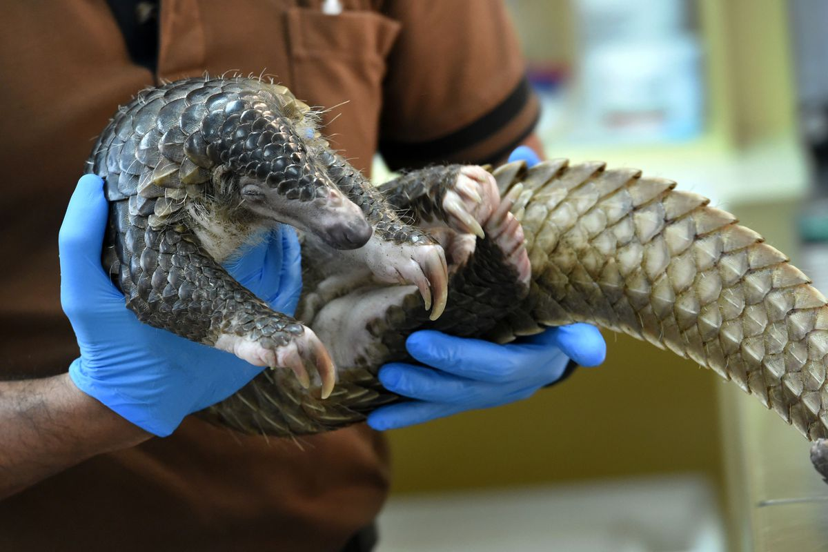 The research team tested more than 1,000 samples from wildanimals and a found a 99% match between the genome sequences of virusesfound in pangolins and those in human patients, theAFPreported, citing Chinese state media. File photo.