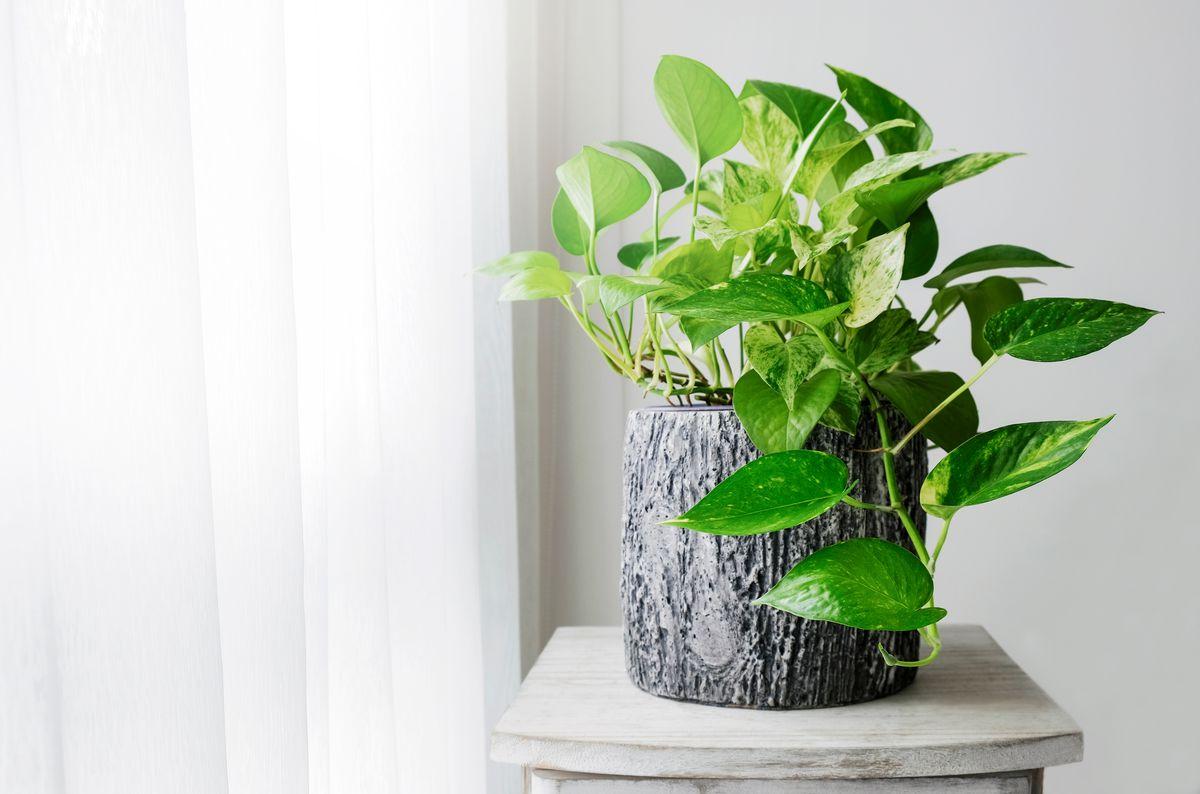 House Plants, Golden Pothos
