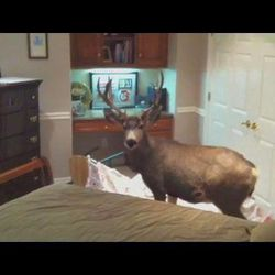 A deer broke into the Bountiful home of Casey and Marla Keller on Christmas Eve, Dec. 24, 2011, through a window well. It ended up in a bedroom where the family was keeping most of its Christmas presents. Most of the packages survived intact. The deer, however, did not.