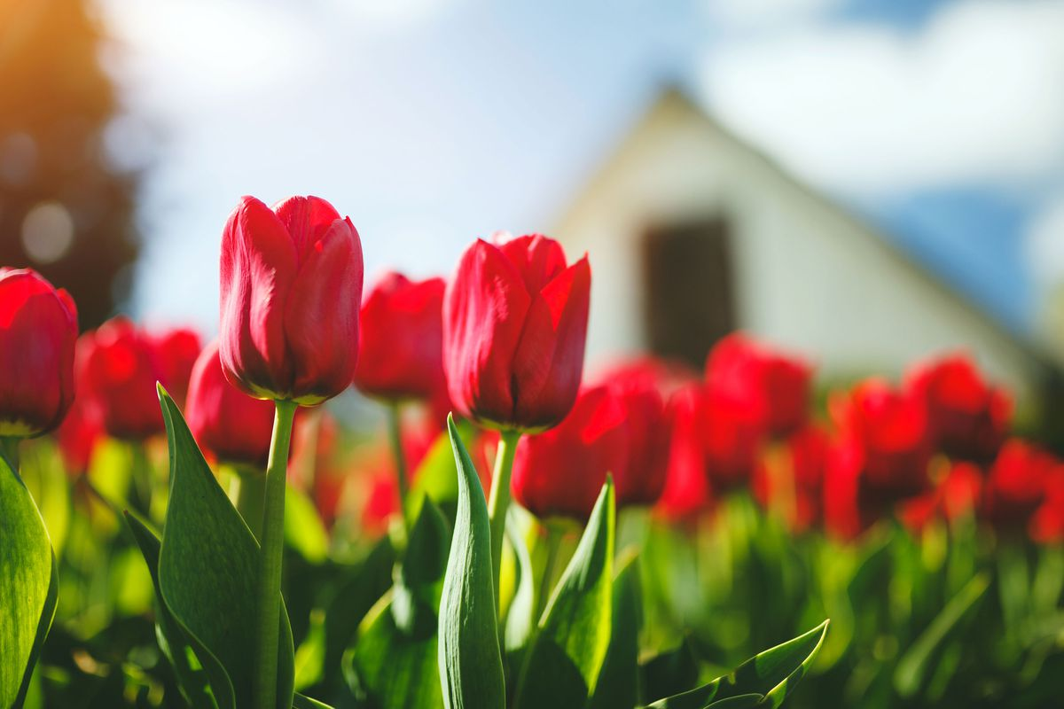 A garden of red tulips grows in front of a house.